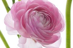 Lotus, color romantic, warm love stock images