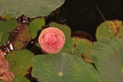 Lotus;colorful aquatic flower Stock Images