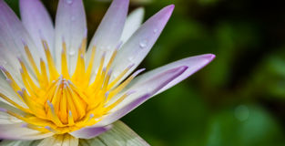 Lotus. Colorful of lotus pollen and dewdrop on lotus Royalty Free Stock Images