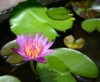 Lotus com folhas verdes Imagens de Stock