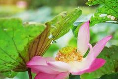Lotus con bello Fotografia Stock Libera da Diritti