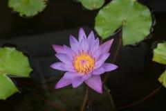 Lotus con descenso del agua imagen de archivo