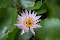 Lotus con la abeja dentro Foto de archivo libre de regalías