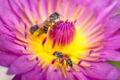Lotus con las abejas Imágenes de archivo libres de regalías