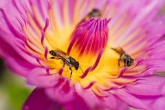 Lotus con las abejas Fotografía de archivo