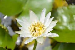 Lotus con las abejas Foto de archivo libre de regalías