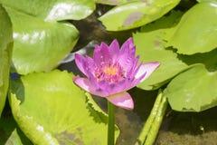 Lotus con las abejas Imagen de archivo libre de regalías