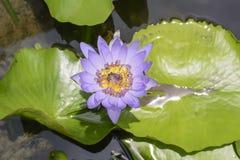 Lotus con las abejas Imagenes de archivo