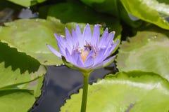 Lotus con las abejas Foto de archivo