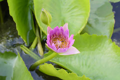 Lotus con las abejas Fotos de archivo libres de regalías