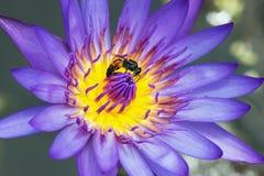 Lotus con las abejas en el polen Imagen de archivo libre de regalías