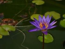 Lotus con porpora e giallo al sole Immagine Stock Libera da Diritti