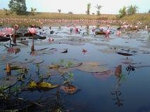 Lotus cor-de-rosa na lagoa bonita e na água azul Imagens de Stock