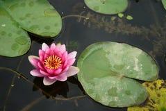 Lotus cor-de-rosa no rio Fotografia de Stock Royalty Free