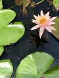 Lotus cor-de-rosa & o verde saem em uma lagoa foto de stock royalty free