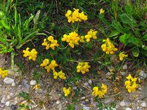 Free Lotus Corniculatus - English Birds-foot Trefoil, Yellow Blossom In Summer Stock Photos - 175501243