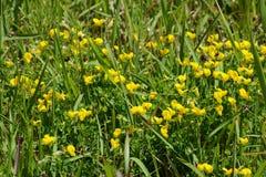 Lotus corniculatus flowers royalty free stock photos