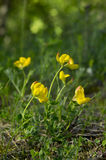 Lotus corniculatus. Yellow flower in natural environment. Common birds-foot trefoil, birds-foot trefoil, birds-foot deervetch, Lotus corniculatus Royalty Free Stock Image
