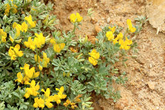 Lotus creticus, a genus of legume native to salty sand dunes Stock Photos