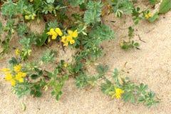 Lotus creticus, a genus of legume native to salty sand dunes Royalty Free Stock Photos