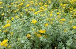 Lotus creticus, a genus of legume native to salty sand dunes Stock Images