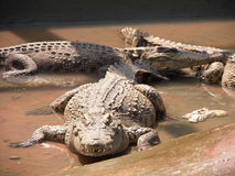 Lotus. Crocodile crocodiles farm pet pets breeding aliment animal nature aligator royalty free stock photos