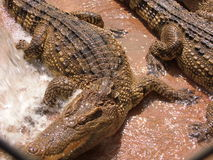 Lotus. Crocodile crocodiles farm pet pets breeding aliment animal nature aligator stock image
