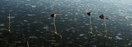 Lotus défraîchi Photo libre de droits