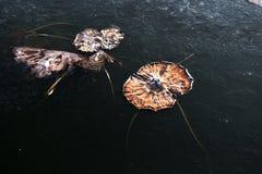 Lotus défraîchi Image libre de droits