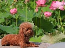 Lotus d'été en pleine floraison, Image stock
