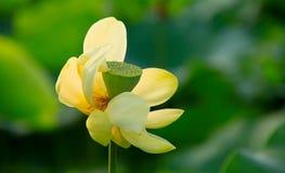 Lotus d'or Photo libre de droits