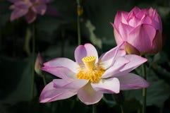Lotus d'espace chromatique Images stock