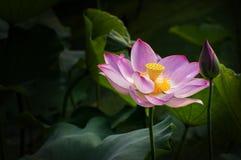Lotus d'espace chromatique Photo stock