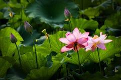 Lotus d'espace chromatique Images libres de droits
