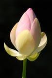 Lotus d'isolement Photo stock