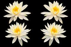 Lotus d'isolement Images libres de droits