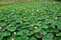 Lotus damm Arkivbilder