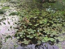 Lotus damm i parkera royaltyfria foton