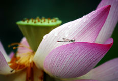 Lotus and Damselfly. I can see  a damselfly quietly parked in a lotus, it's so beautiful Stock Photo