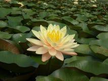 Lotus dans l'étang Photos stock