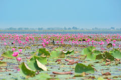 Lotus dans l'étang Photographie stock