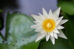Lotus dans l'eau photos libres de droits