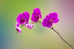 Lotus dans l'isolement bleu de fond Photo libre de droits