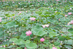 Lotus dans l'étang Photo libre de droits