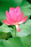 Lotus dans la fleur Photographie stock
