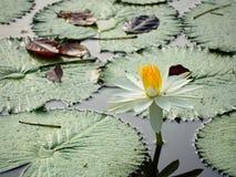 Lotus dans la piscine Photos stock