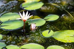 Lotus dans la piscine Photo stock
