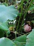 Lotus dans le jardin botnical photo libre de droits