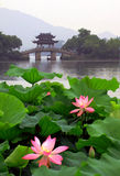 Lotus dans le lac occidental, Hangzhou Photographie stock libre de droits