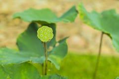 Lotus das Laubfall und grüner Kelch Stockbilder